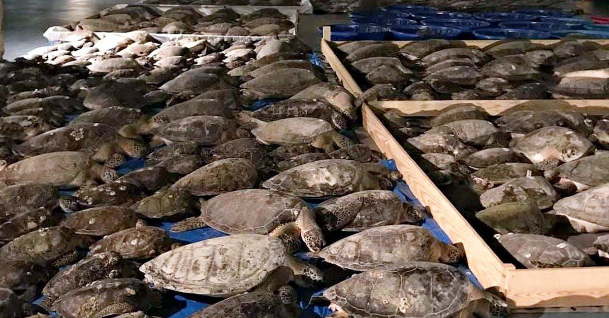 Resgate de tartarugas marinhas durante tempestade de inverno no Texas
